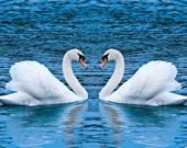 Пятнашки: Лебеди