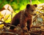 Милые медвежата - Пазл