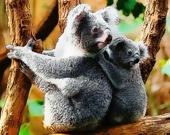 Милые коалы - Пазл