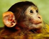 Детеныш обезьяны - Пазл