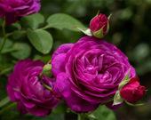 Пазл: Пурпурные розы