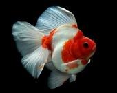 Пазл Золотая рыбка