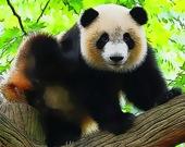 Милые панды - Пазл