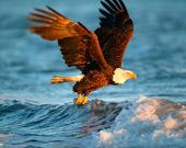 Пазлы о животных: орел